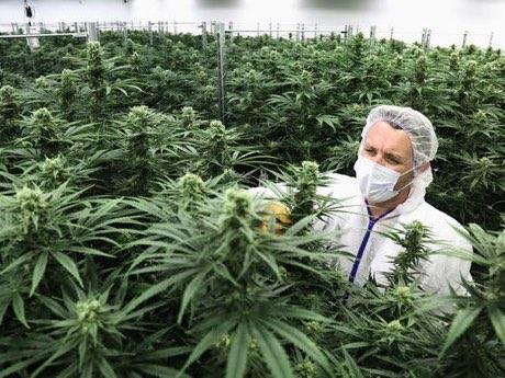 رئیسکل بهداری دولت آمریکا درباره اعتیاد به «ماریجوانا» و زیان آن هشدار داد